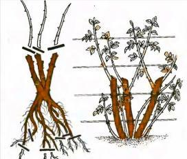 Рис. 1 Обрезка плетистых роз первой группы