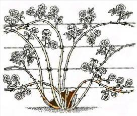 Рис. 6 Обрезка плетистых роз первой группы
