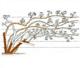 Рис. 12 Обрезка плетистых роз второй группы