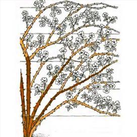 Рис. 16 Обрезка плетистых роз третьей группы