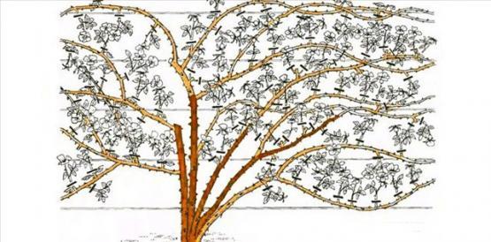 Рис. 17 Обрезка плетистых роз третьей группы