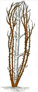 Рис. 18 Обрезка плетистых роз четвертой группы