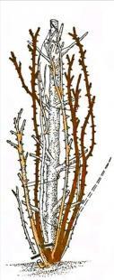 Рис. 21 Обрезка плетистых роз четвертой группы
