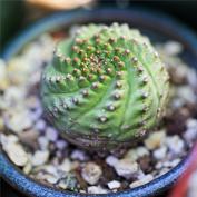 Молочай буплеурумолистный (Euphorbia bupleurifolia)