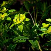 Молочай Фишера или Паласса (Euphorbia fischeriana)