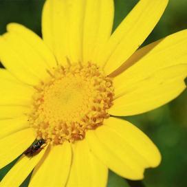 Хризантема увенчанная (Chrysanthemum coronarium)