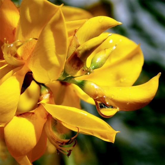 Дрок красильный (Genista tinctoria)