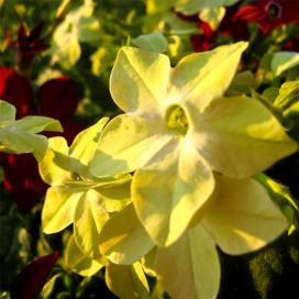 Табак душистый (Yellow Nicotiana suaveolens)