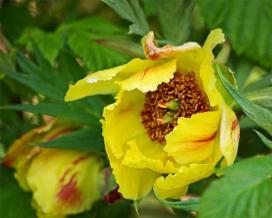 Пион желтый (Paeonia lutea)