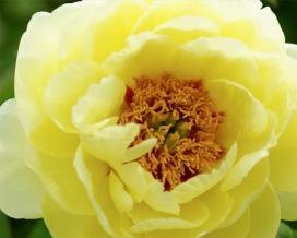 Пион желтый (Paeonia suffruticosa)