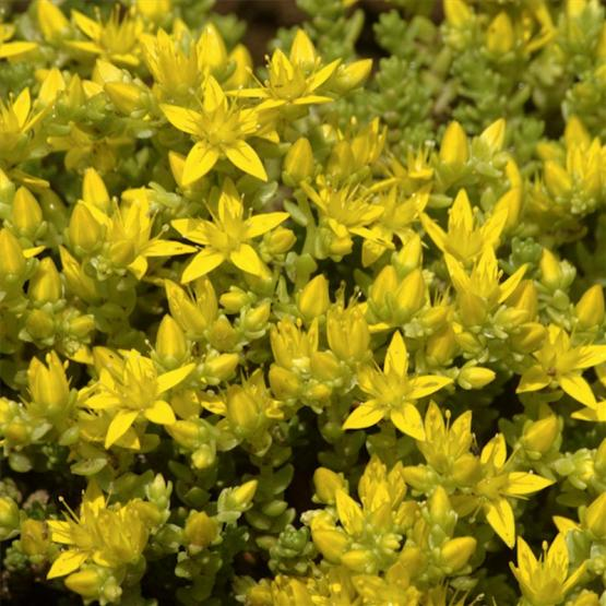 Седум (Yellow Sedum acre-Muurpeper)