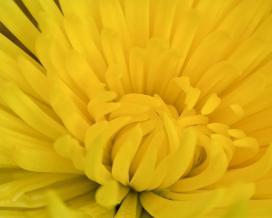 Астра однолетняя (Yellow aster)