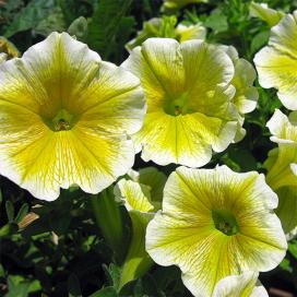 Петуния (Yellow petunias)
