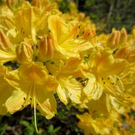 Рододендрон (rhododendrons)