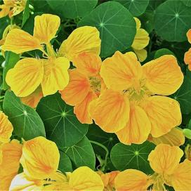 Настурция (Yellow tropaeolum)