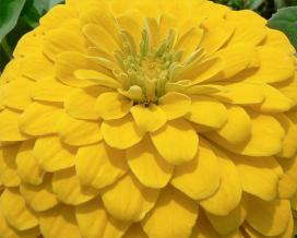 Циния (Yellow zinnia elegans)