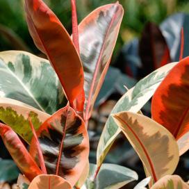 Фикус каучуконосный Декора (Ficus elastica decora variegata)