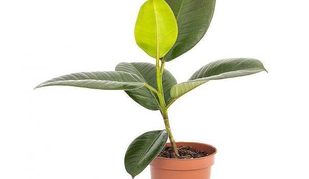 Фикус каучуконосный Робуста (ficus elastica robusta)