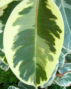 Фикус каучуконосный Дойшери (Ficus elastica Doescheri)