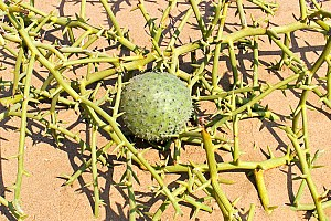 Нара — дыня пустыни