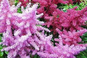 Астильба — изящное растение для стильного сада