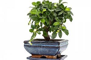 Кармона мелколистная: бонсай для чайников