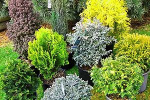 Хвойники. Начало пути: покупка, хранение, посадка саженцев хвойных растений