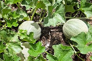Как вырастить дыни на своем участке