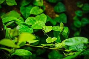 Фикус карликовый, или крохотный: виды, сорта