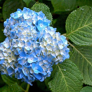Гортензия крупнолистная: выращивание и уход