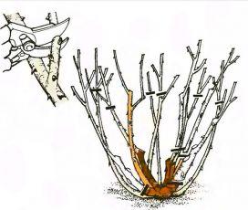 Рис. 7. Обрезка роз флорибунда