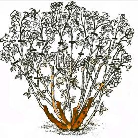 Рис. 5. Обрезка роз флорибунда