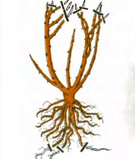 Рис. 1. Обрезка роз флорибунда