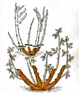 Рис. 2. Обрезка роз флорибунда