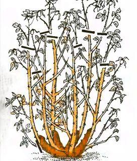 Рис. 3. Обрезка роз флорибунда