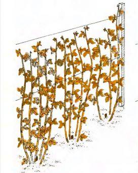 Рис. 3. Обрезка малины