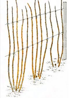 Рис. 4. Обрезка малины