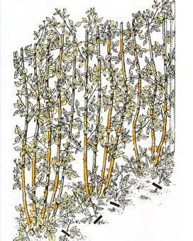 Рис. 6. Обрезка малины
