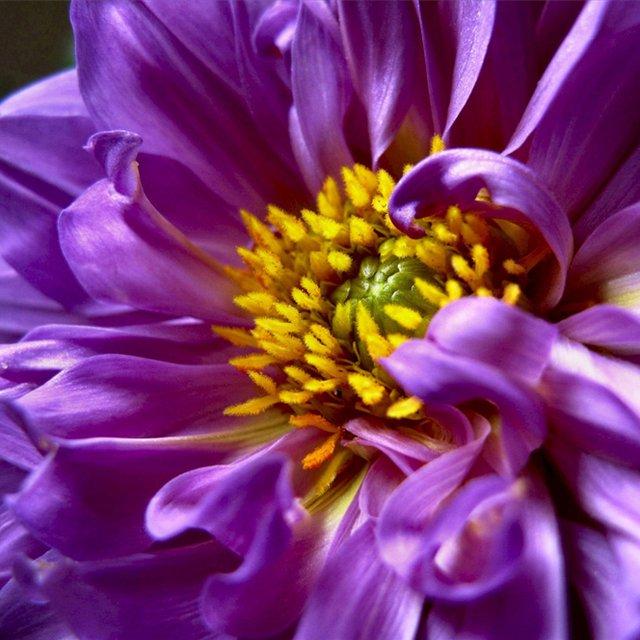 На что похож цветок георгин