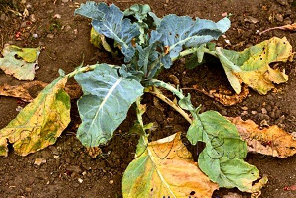 Болезни рассады цветной капусты 20