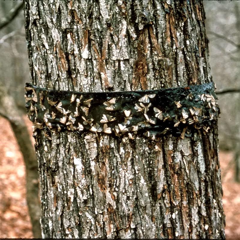 Ловчие пояса на плодовых деревьях своими руками видео