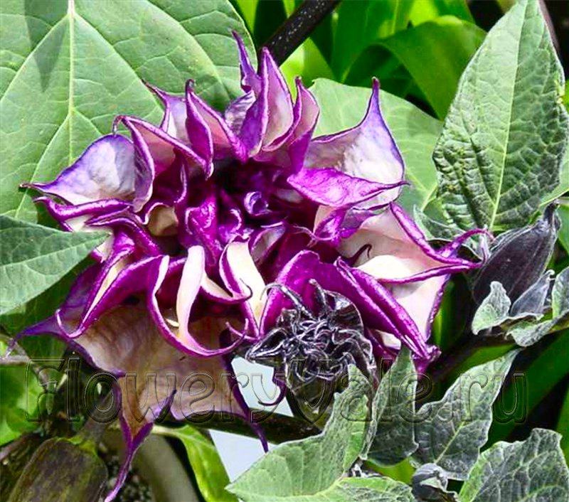 Датура цветы и