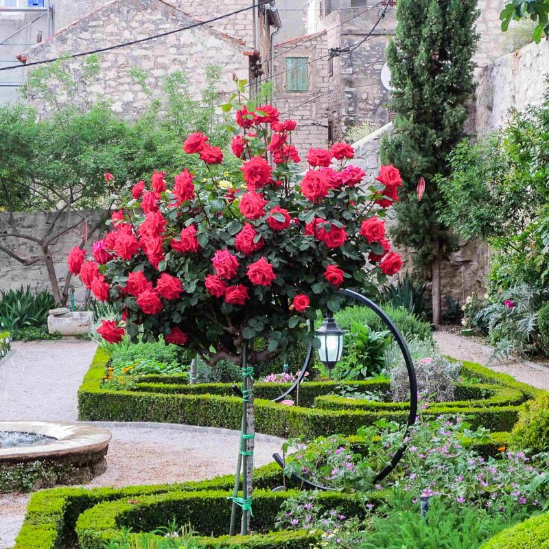 Роза посадка и уход фото цена
