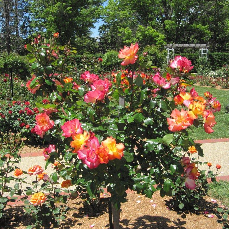 Розы штамбовые выращивание 25
