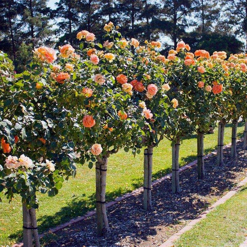 Как сделать штамбовые розы