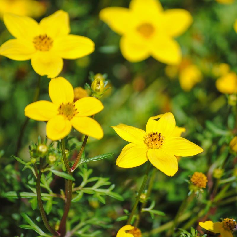 Лекарственные цветы для дачи