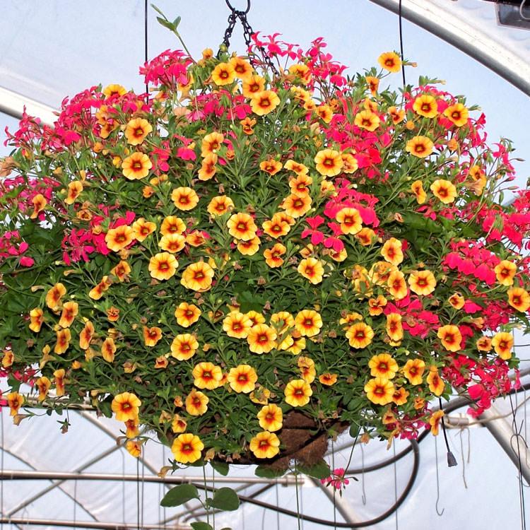 Разновидность ампельных цветов