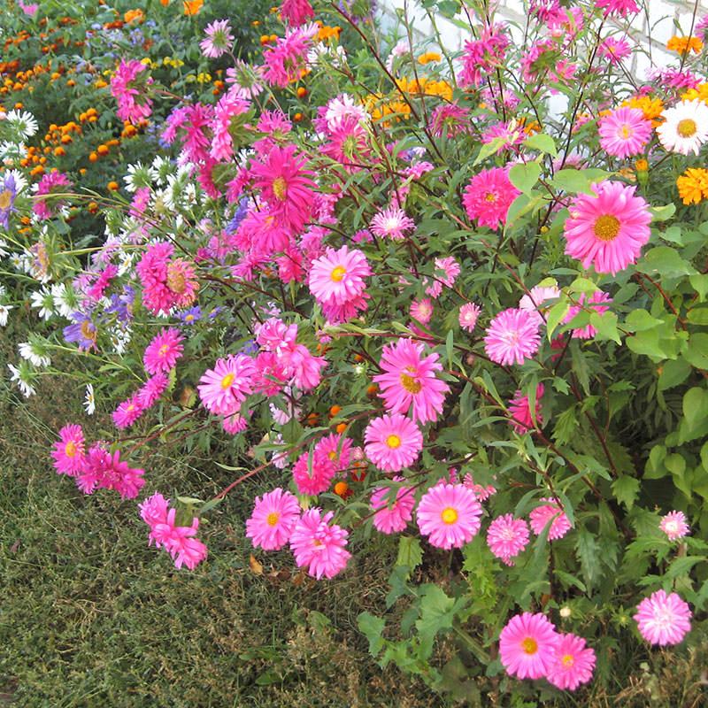 Однолетники в саду цветы