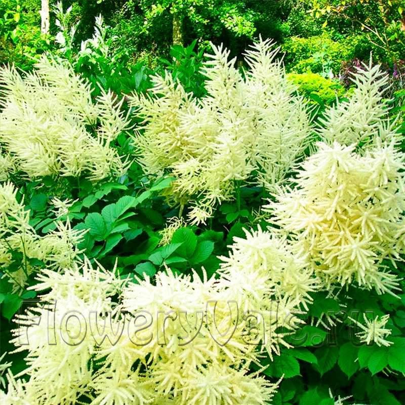 Садовый цветок белой метелкой