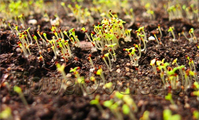 Аквилегия посадка на рассаду семенами 25